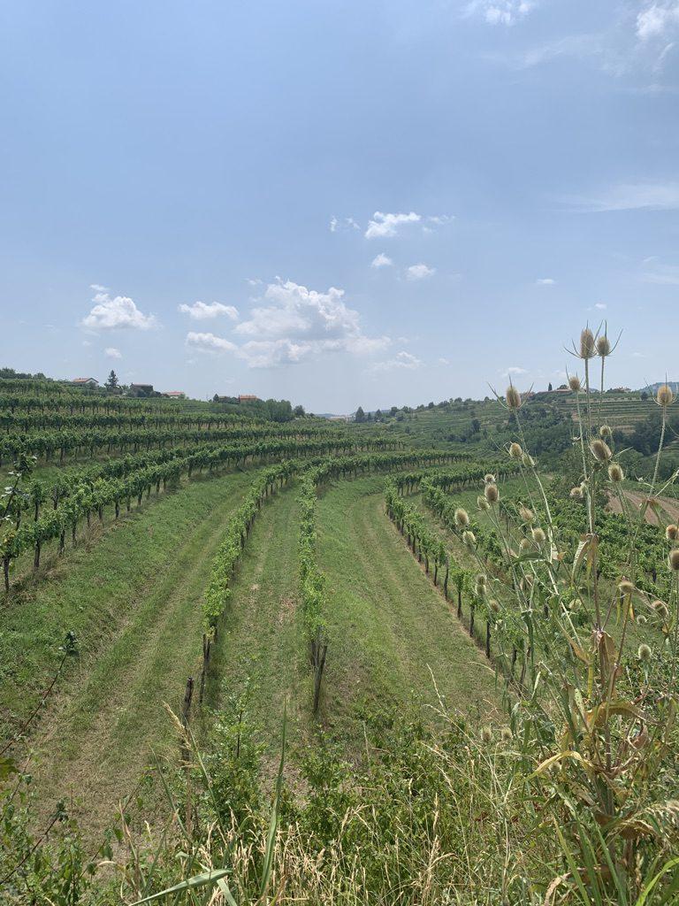 Wijnvelden bij Dobrovo