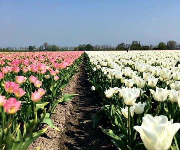 Bolleveld roze en wit Beem