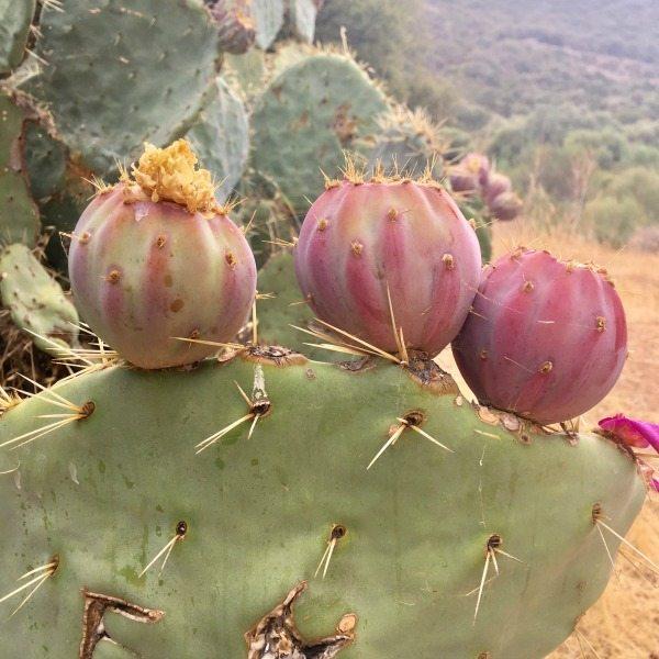 Cactus Corsica | travelvibe