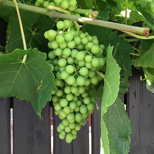 Druiven Rheinhessen