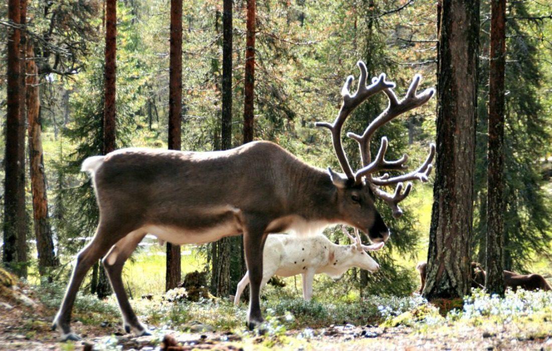 Finland Salla Rendierpark travelvibe