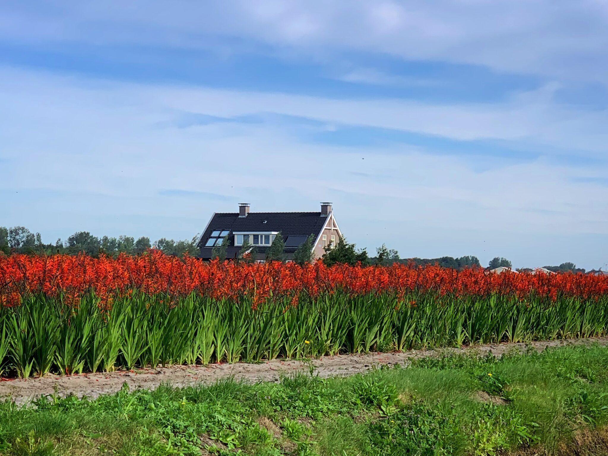 bollenvelden bij Noordwijk