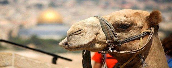 ISRAEL kameel