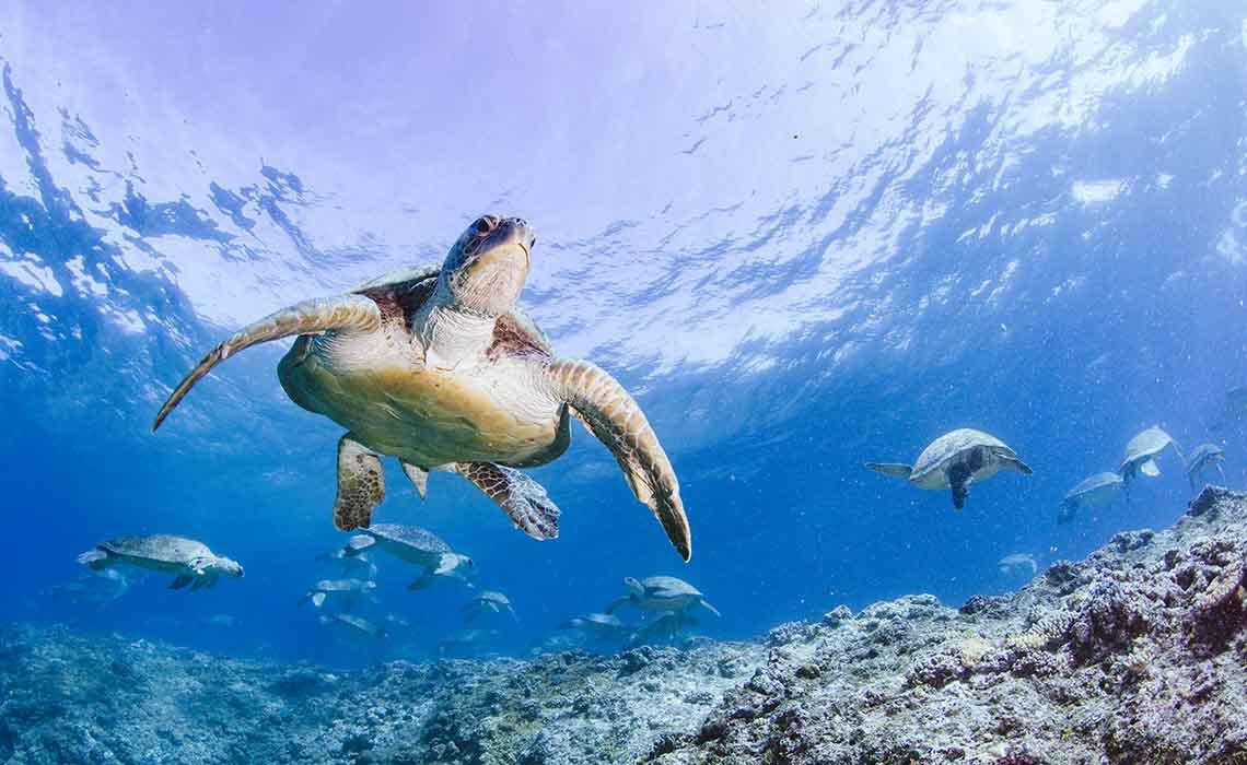 Turtle adventure Omniversum - Green Sea Turtle at Raine Island - Travelvibe