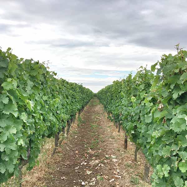 eindeloze wijngaarden Rheinhessen
