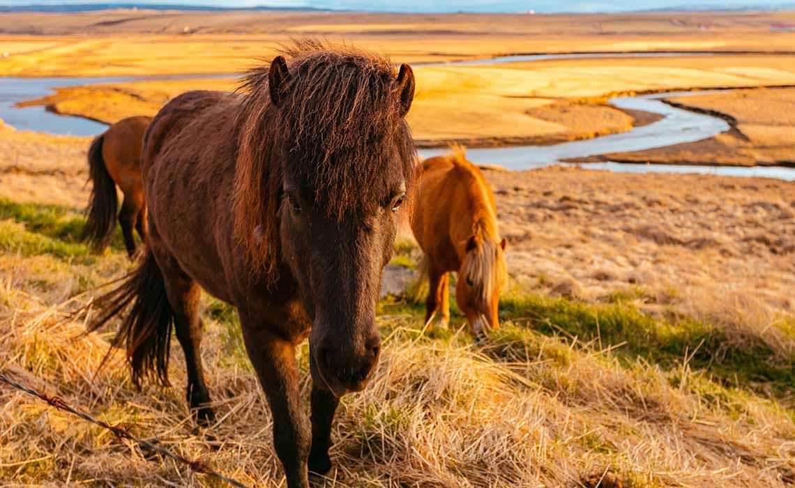 iceland-mahkeo IJslandse paarden - Travelvibe