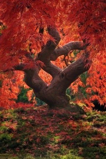 japanese maple leaf, mooie herfstfoto's - Travelvibe