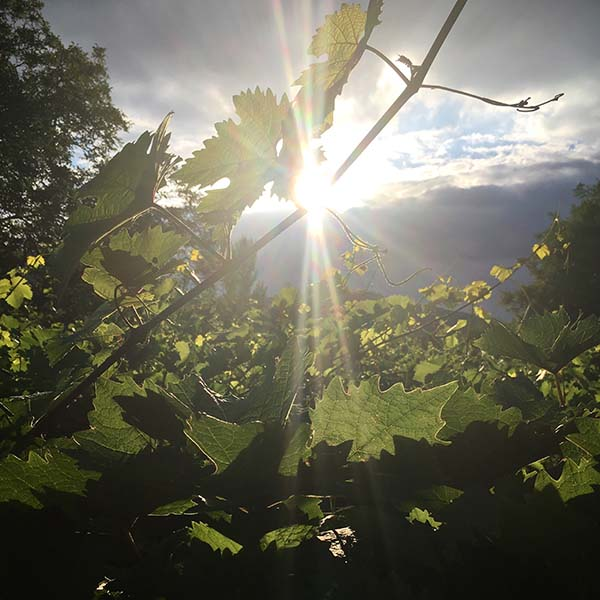 Sunset in the Vineyards of Bingen Germany